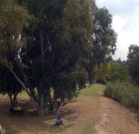 Eucalyptus tree Israel